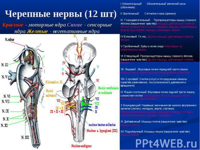 I Обонятельный: Обонятельный эпителий носа (обоняние) II Зрительный: Сетчатка глаза (зрение) III Глазодвигательный: Проприоцепторы мышц глазного яблока (мышечное чувство) Мышцы, двигающие глазное яблоко (совместно с IV и VI парами); мышцы, изменяющи…