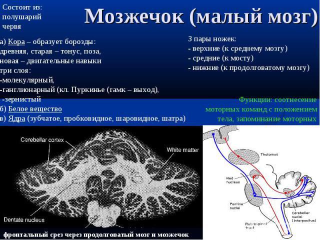 фронтальный срез через продолговатый мозг и мозжечок Мозжечок (малый мозг) Функции: соотнесение моторных команд с положением тела, запоминание моторных программ Состоит из: полушарий червя а) Кора – образует борозды: древняя, старая – тонус, поза, н…