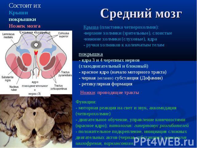 Состоит из: Крыши покрышки Ножек мозга Ножки: проводящие тракты ядро глазодвигательного нерва (3) Крыша (пластинка четверохолмия): верхние холмики (зрительные), слоистые нижние холмики (слуховые), ядра - ручки холмиков к коленчатым телам Функции: - …