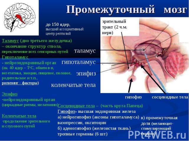 таламус гипоталамус эпифиз коленчатые тела сосцевидные тела гипофиз зрительный тракт (2 ч.м. нерв) Таламус (дно третьего желудочка) – окончание структур ствола, переключение всех сенсорных путей Гипоталамус - нейроэндокринный орган (ок. 40 ядер – То…