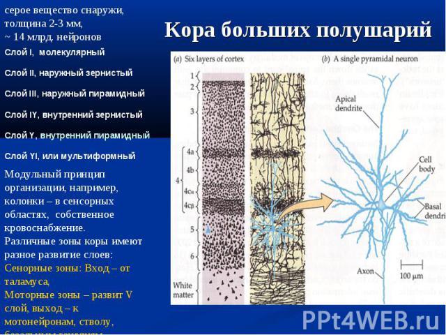 Слой I, молекулярный Слой II, наружный зернистый Слой III, наружный пирамидный Слой IY, внутренний зернистый Слой Y, внутренний пирамидный Слой YI, или мультиформный Модульный принцип организации, например, колонки – в сенсорных областях, собственно…