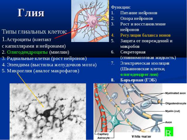 Типы глиальных клеток: 1.Астроциты (контакт с капиллярами и нейронами) 2. Олигодендроциты (миелин) 3. Радиальные клетки (рост нейронов) 4. Эпендима (выстилка желудочков мозга) 5. Микроглия (аналог макрофагов) Функции: Питание нейронов Опора нейронов…