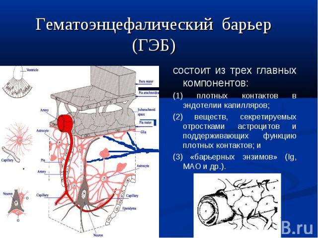 состоит из трех главных компонентов: (1) плотных контактов в эндотелии капилляров; (2) веществ, секретируемых отростками астроцитов и поддерживающих функцию плотных контактов; и (3) «барьерных энзимов» (Ig, МАО и др.). Гематоэнцефалический барьер (ГЭБ)