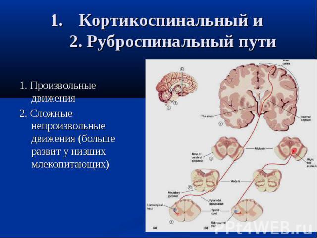 Кортикоспинальный и 2. Руброспинальный пути 1. Произвольные движения 2. Сложные непроизвольные движения (больше развит у низших млекопитающих)