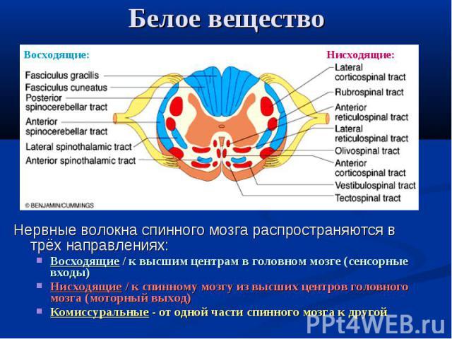 Восходящие: Нисходящие: Белое вещество Нервные волокна спинного мозга распространяются в трёх направлениях: Восходящие / к высшим центрам в головном мозге (сенсорные входы) Нисходящие / к спинному мозгу из высших центров головного мозга (моторный вы…