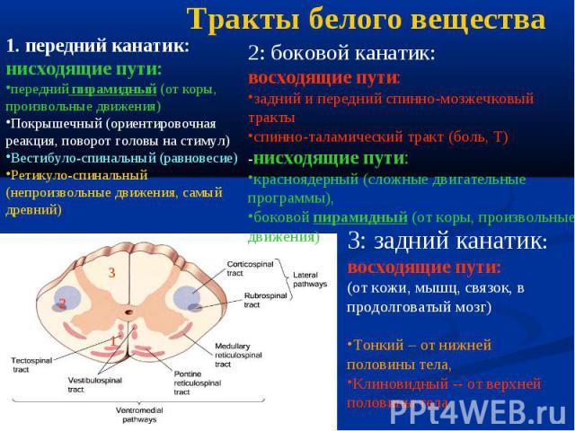 1 2 3 1. передний канатик: нисходящие пути: передний пирамидный (от коры, произвольные движения) Покрышечный (ориентировочная реакция, поворот головы на стимул) Вестибуло-спинальный (равновесие) Ретикуло-спинальный (непроизвольные движения, самый др…