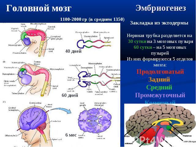 40 дней 60 дней 6 мес Закладка из эктодермы Нервная трубка разделяется на 30 сутки на 3 мозговых пузыря 60 сутки – на 5 мозговых пузырей Из них формируются 5 отделов мозга: Продолговатый Задний Средний Промежуточный Конечный Головной мозг 1100-2000 …