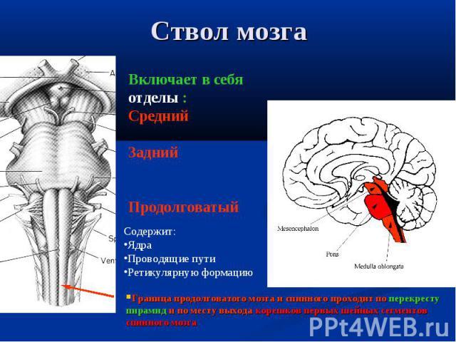 Граница продолговатого мозга и спинного проходит по перекресту пирамид и по месту выхода корешков первых шейных сегментов спинного мозга Включает в себя отделы : Средний Задний Продолговатый Содержит: Ядра Проводящие пути Ретикулярную формацию Ствол мозга