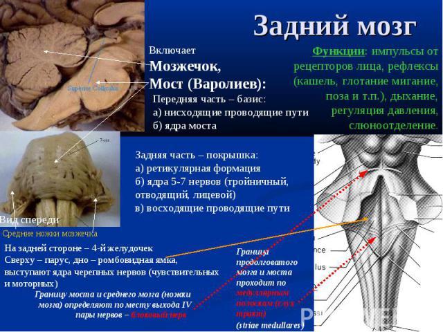 Граница продолговатого мозга и моста проходит по медуллярным полоскам (слух тракт) (striae medullares) Границу моста и среднего мозга (ножки мозга) определяют по месту выхода IV пары нервов – блоковый нерв Включает Мозжечок, Мост (Варолиев): Вид спе…