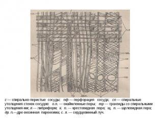 с — спирально-пористые сосуды; пф — перфорация сосуда; сп — спиральные утолщения