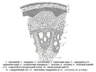 1 - прокамбий, 2 - эпидерма, 3 - колленхима, 4 - паренхима коры, 5 - эндодерма (