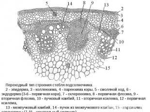 Переходный тип строения стебля подсолнечника 2 - эпидерма, 3 - колленхима, 4 - п
