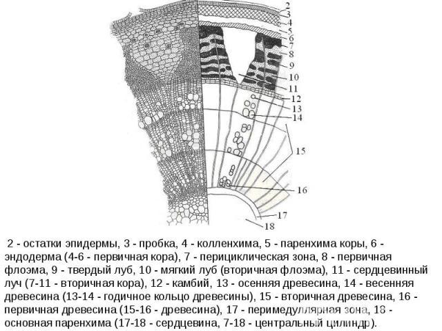 2 - остатки эпидермы, 3 - пробка, 4 - колленхима, 5 - паренхима коры, 6 - эндодерма (4-6 - первичная кора), 7 - перициклическая зона, 8 - первичная флоэма, 9 - твердый луб, 10 - мягкий луб (вторичная флоэма), 11 - сердцевинный луч (7-11 - вторичная …
