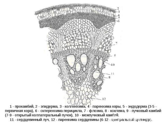 1 - прокамбий, 2 - эпидерма, 3 - колленхима, 4 - паренхима коры, 5 - эндодерма (3-5 - первичная кора), 6 - склеренхима перицикла, 7 - флоэма, 8 - ксилема, 9 - пучковый камбий (7-9 - открытый коллатеральный пучок), 10 - межпучковый камбий, 11 - сердц…