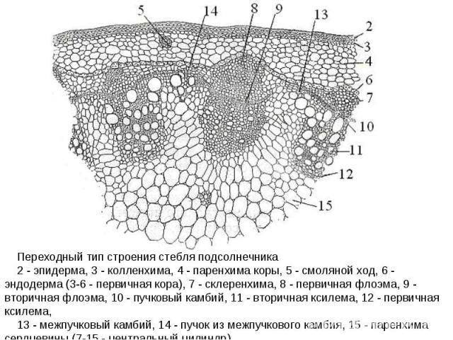 Переходный тип строения стебля подсолнечника 2 - эпидерма, 3 - колленхима, 4 - паренхима коры, 5 - смоляной ход, 6 - эндодерма (3-6 - первичная кора), 7 - склеренхима, 8 - первичная флоэма, 9 - вторичная флоэма, 10 - пучковый камбий, 11 - вторичная …