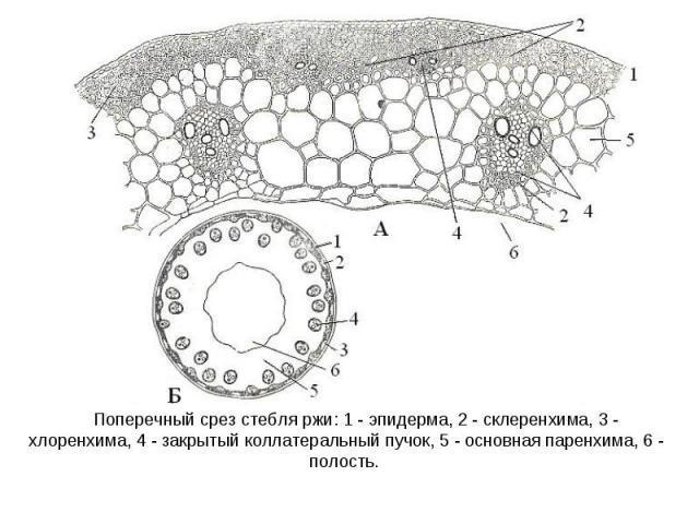 Поперечный срез стебля ржи: 1 - эпидерма, 2 - склеренхима, 3 - хлоренхима, 4 - закрытый коллатеральный пучок, 5 - основная паренхима, 6 - полость.