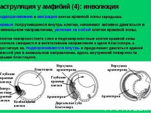Подворачивание и миграция клеток краевой зоны зародыша. Гаструляция у амфибий (4