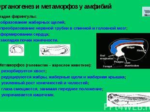 Стадия фарингулы: образование жаберных щелей; преобразование нервной трубки в сп