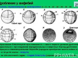 Дробление у амфибий Полное, неравномерное и асинхронное: 2 – 4 – 8 – 12 – 16 – 2