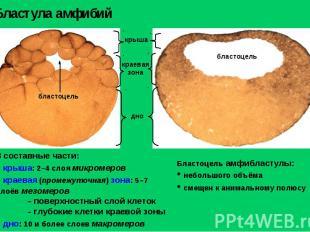 Бластула амфибий Бластоцель амфибластулы: небольшого объёма смещен к анимальному