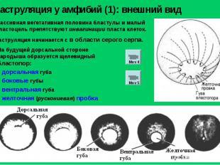 Массивная вегетативная половина бластулы и малый бластоцель препятствуют инвагин