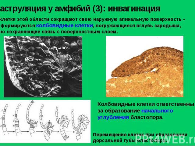 Гаструляция у амфибий (3): инвагинация Клетки этой области сокращают свою наружную апикальную поверхность – формируются колбовидные клетки, погружающиеся вглубь зародыша, но сохраняющие связь с поверхностным слоем. Колбовидные клетки ответственны за…