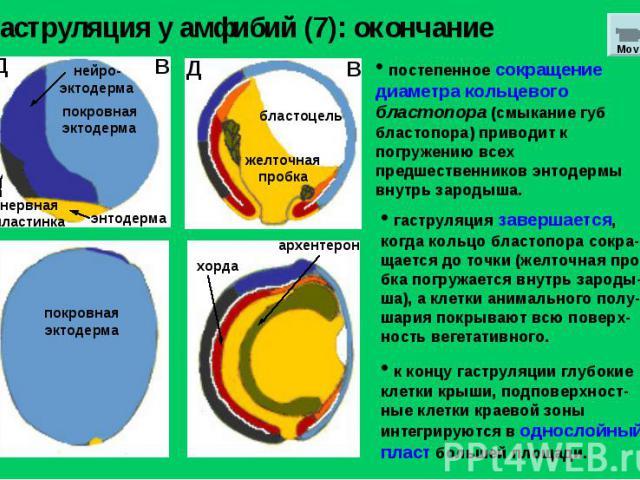 Гаструляция у амфибий (7): окончание постепенное сокращение диаметра кольцевого бластопора (смыкание губ бластопора) приводит к погружению всех предшественников энтодермы внутрь зародыша. гаструляция завершается, когда кольцо бластопора сокра-щается…