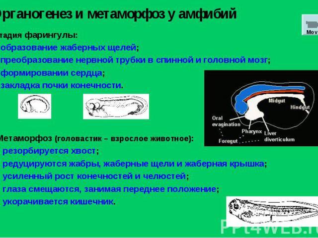 Стадия фарингулы: образование жаберных щелей; преобразование нервной трубки в спинной и головной мозг; формировании сердца; закладка почки конечности. Органогенез и метаморфоз у амфибий Mov 4 Метаморфоз (головастик – взрослое животное): резорбируетс…