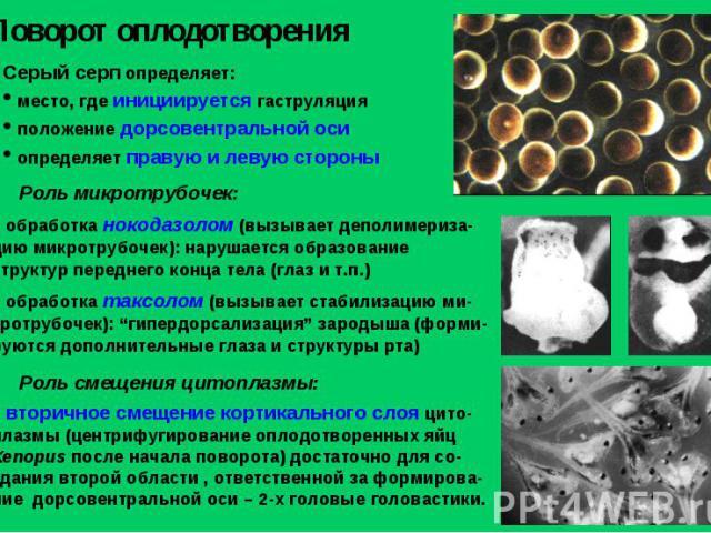 Поворот оплодотворения Серый серп определяет: место, где инициируется гаструляция положение дорсовентральной оси определяет правую и левую стороны обработка нокодазолом (вызывает деполимериза-цию микротрубочек): нарушается образование структур перед…