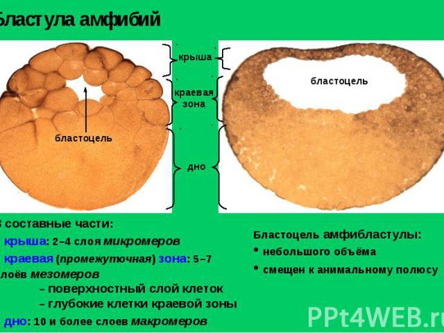 Бластула амфибий Бластоцель амфибластулы: небольшого объёма смещен к анимальному полюсу 3 составные части: крыша: 2–4 слоя микромеров краевая (промежуточная) зона: 5–7 слоёв мезомеров – поверхностный слой клеток – глубокие клетки краевой зоны дно: 1…