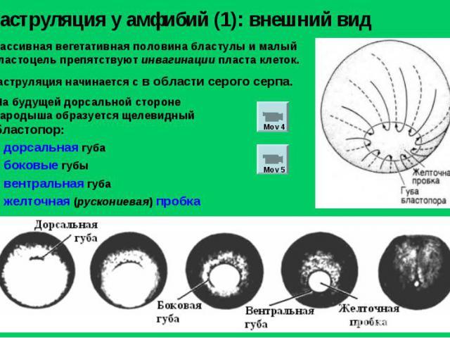 Массивная вегетативная половина бластулы и малый бластоцель препятствуют инвагинации пласта клеток. Гаструляция у амфибий (1): внешний вид Гаструляция начинается с в области серого серпа. На будущей дорсальной стороне зародыша образуется щелевидный …