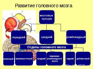 мозговые пузыри передний средний ромбовидный конечный промежуточный задний добав