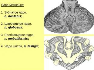 Ядра мозжечка: Зубчатое ядро, n. dentatus; Шаровидное ядро, n. globosus; Пробков