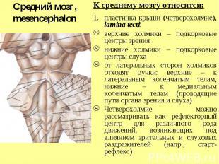 Средний мозг, mesencephalon К среднему мозгу относятся: пластинка крыши (четверо