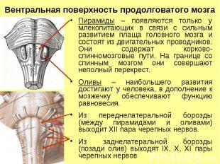 Вентральная поверхность продолговатого мозга Пирамиды – появляются только у млек
