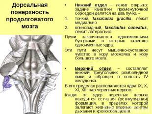 Дорсальная поверхность продолговатого мозга Нижний отдел – лежит открыто: задние