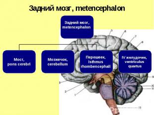 Задний мозг, metencephalon Мост, pons cerebri Мозжечок, cerebellum Перешеек, ist