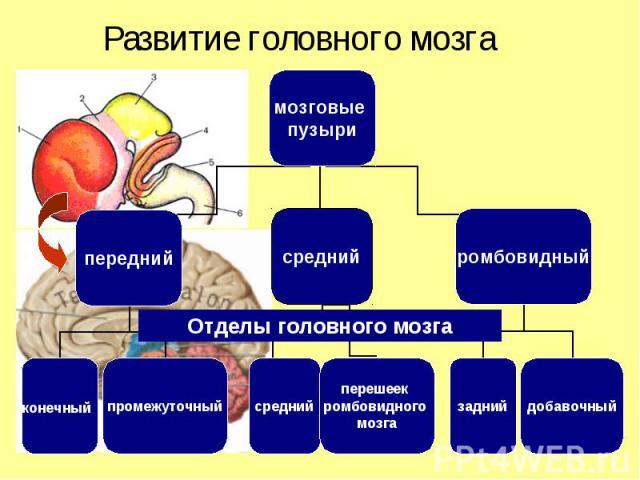 мозговые пузыри передний средний ромбовидный конечный промежуточный задний добавочный средний перешеек ромбовидного мозга Отделы головного мозга Развитие головного мозга