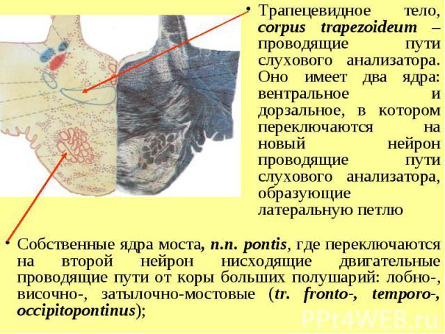 Трапецевидное тело, corpus trapezoideum – проводящие пути слухового анализатора. Оно имеет два ядра: вентральное и дорзальное, в котором переключаются на новый нейрон проводящие пути слухового анализатора, образующие латеральную петлю Собственные яд…