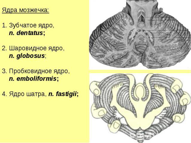 Ядра мозжечка: Зубчатое ядро, n. dentatus; Шаровидное ядро, n. globosus; Пробковидное ядро, n. emboliformis; Ядро шатра, n. fastigii;