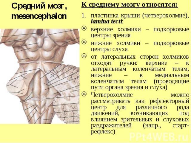 Средний мозг, mesencephalon К среднему мозгу относятся: пластинка крыши (четверохолмие), lamina tecti: верхние холмики – подкорковые центры зрения нижние холмики – подкорковые центры слуха от латеральных сторон холмиков отходят ручки: верхние – к ла…