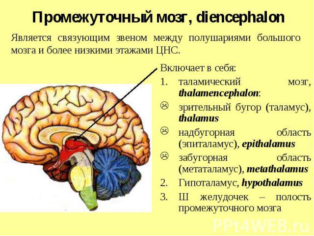 Является связующим звеном между полушариями большого мозга и более низкими этажами ЦНС. Промежуточный мозг, diencephalon Включает в себя: таламический мозг, thalamencephalon: зрительный бугор (таламус), thalamus надбугорная область (эпиталамус), epi…