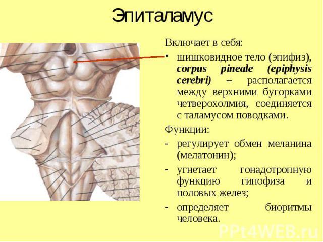 Эпиталамус Включает в себя: шишковидное тело (эпифиз), corpus pineale (epiphysis cerebri) – располагается между верхними бугорками четверохолмия, соединяется с таламусом поводками. Функции: регулирует обмен меланина (мелатонин); угнетает гонадотропн…