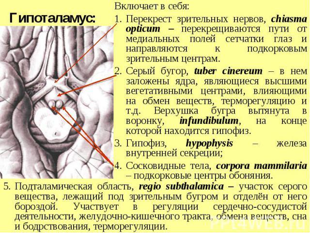 Подталамическая область, regio subthalamica – участок серого вещества, лежащий под зрительным бугром и отделён от него бороздой. Участвует в регуляции сердечно-сосудистой деятельности, желудочно-кишечного тракта, обмена веществ, сна и бодрствования,…