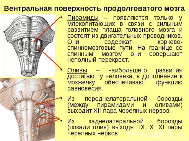 Вентральная поверхность продолговатого мозга Пирамиды – появляются только у млекопитающих в связи с сильным развитием плаща головного мозга и состоят из двигательных проводников. Они содержат корково-спинномозговые пути. На границе со спинным мозгом…