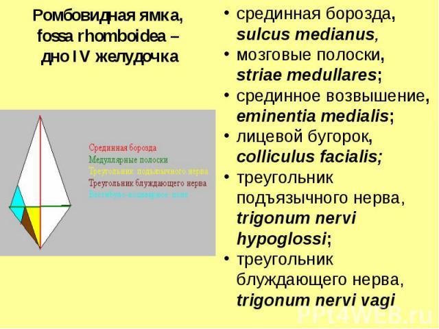 срединная борозда, sulcus medianus, мозговые полоски, striae medullares; срединное возвышение, eminentia medialis; лицевой бугорок, colliculus facialis; треугольник подъязычного нерва, trigonum nervi hypoglossi; треугольник блуждающего нерва, trigon…