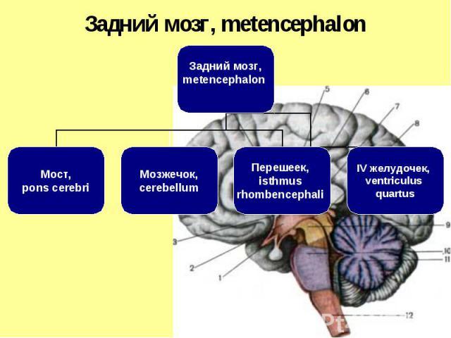 Задний мозг, metencephalon Мост, pons cerebri Мозжечок, cerebellum Перешеек, isthmus rhombencephali IV желудочек, ventriculus quartus Задний мозг, metencephalon
