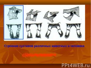 Строение суставов различных животных и человека Сустав хищников Сустав жвачных С