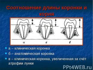 Соотношение длины коронки и корня а – клиническая коронка б – анатомическая коро