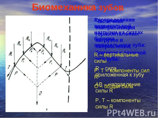 Биомеханика зубов Частичная нейтрализация горизонтальных нагрузок в направлении, близком к длинной оси зуба: R – сила приложенная к зубу AB – направление силы R P, T – компоненты силы R Распределение вертикальной нагрузки на скатах бугорка жевательн…